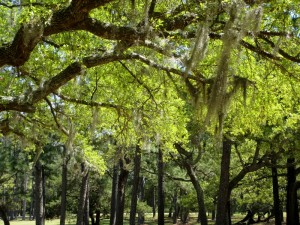 Spanish moss under the trees at the Fort Raleigh National Historic Site