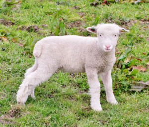 One of Jenny's lambs - not sure if this is Mint or Sauce.